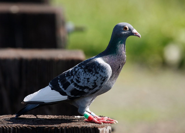 how to catch a homing pigeon