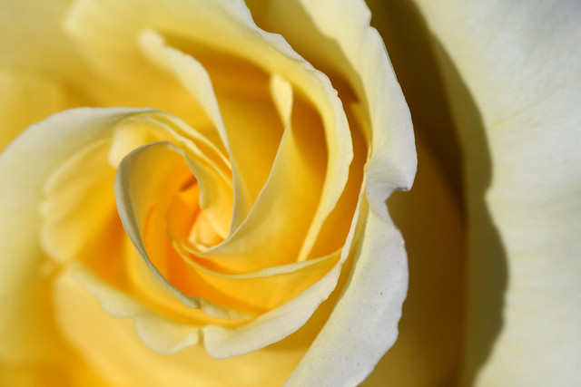 Meringue Swirls | Yellow rose in the gardens of Mission San ...