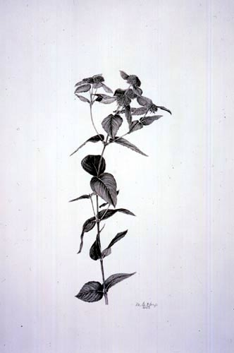 Martha G. Kemp, Pycnanthemum muticum Graphite Pencil, 1/27/03 © Copyright Brooklyn Botanic Garden