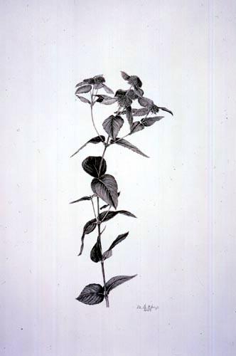 Martha G. Kemp, Pycnanthemum muticum Graphite Pencil, 1/27/03 © Copyright Brooklyn Botanic Garden