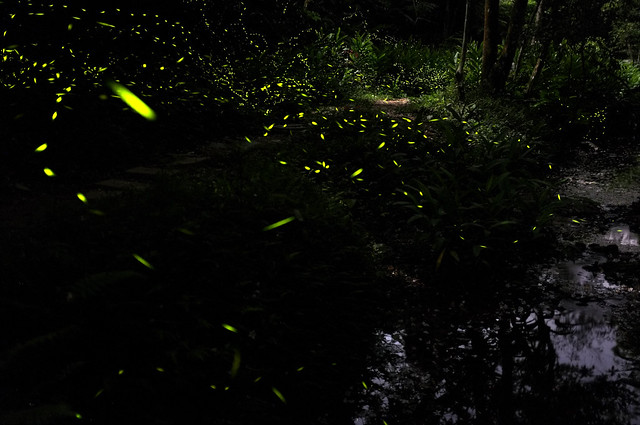 firefly fly by river 河边的萤火虫盛宴