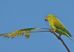 Orange-fronted Parakeets