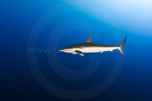 side view shark