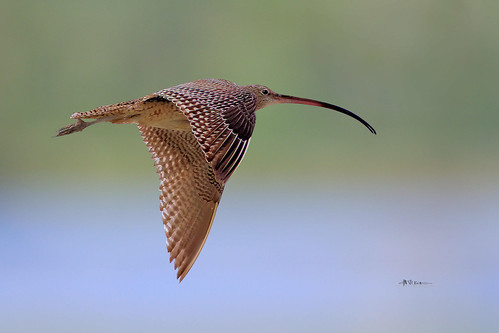Far Eastern Curlew (Numenius madagascariensis)