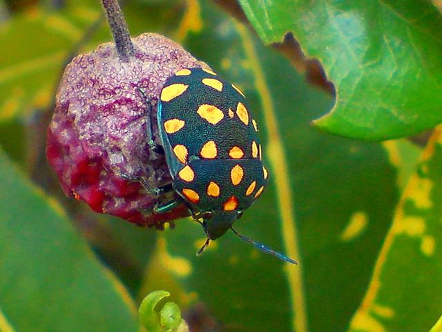 Pachycoris torridus (Scutelleridae) | Flickr - Photo Sharing!