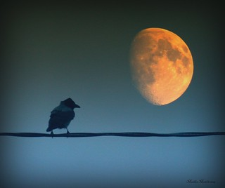 Corvus corone, Hooded crow in moonlight