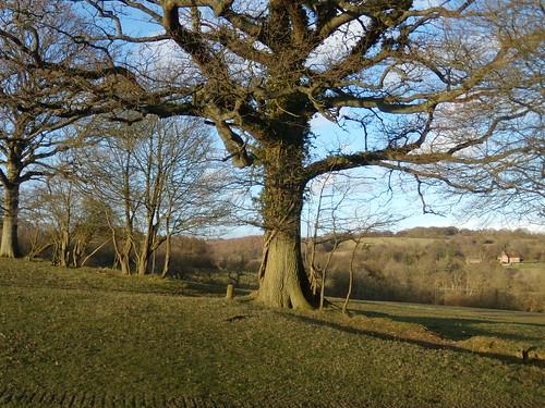 Wadhurst Park tree