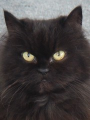 domestic long-haired cat, animal, small to medium-sized cats, black cat, cat, carnivoran, whiskers, nebelung, himalayan,