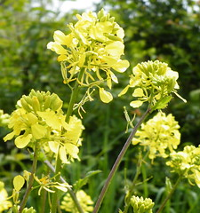 brassica(0.0), shrub(0.0), common rue(0.0), rue(0.0), produce(0.0), food(0.0), flower(1.0), mustard plant(1.0), brassica rapa(1.0), plant(1.0), mustard(1.0), subshrub(1.0), herb(1.0), wildflower(1.0), meadowsweet(1.0), rapeseed(1.0),