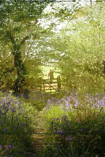 bluebell meadows III