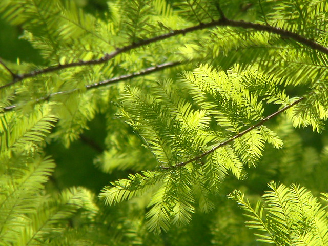 Cypress Leaves