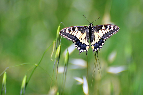 Papilio Machaon (macaone)