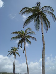 Three palms at Bathsheba