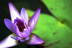 Single Open Water Lilly