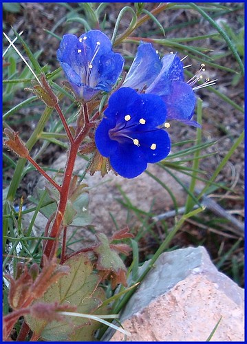 pictures flowers blue original arizona plant flower sisters project creativity rocks desert image crystal pics unique creative picture az pic images christian creation writer wildflowers 365 write create capture benson 2010 desertbluebell writes desertbell bensonaz bensonarizona 365project crystalwriter bluecanterbury