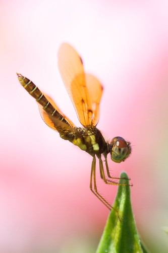 pink orange macro canon insect lens rebel xt dance dof florida 100mm hibiscus naples mating damselfly f28 vss