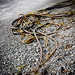 Bull Kelp - Photo (c) Mike Nelson Pedde, some rights reserved (CC BY-NC-ND)
