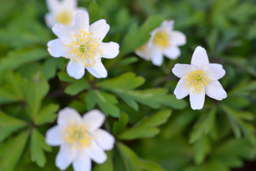 ANEMONE nemorosa 'Ampfield White'