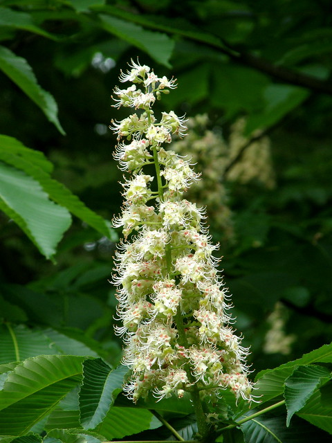 Photo:#8711 horse chestnut (セイヨウトチノキ) flowers By Nemo's great uncle