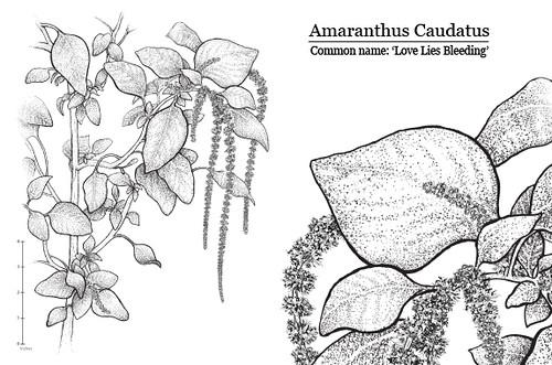 amaranthus caudatus  botanical study