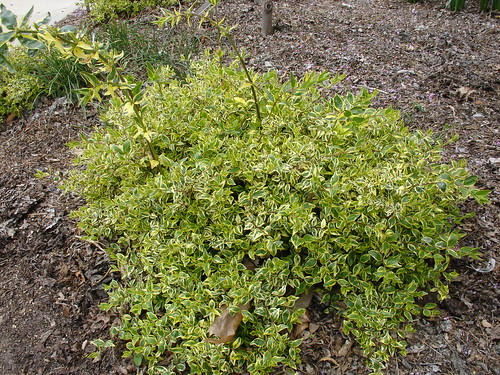 Linnaea × grandiflora 'Abghop'