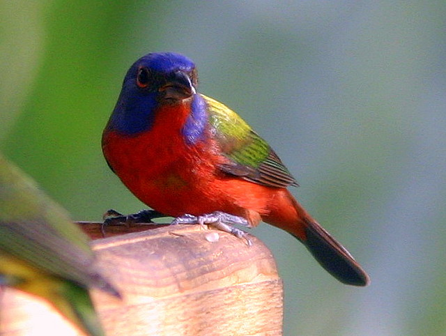 Painted Bunting 20090225