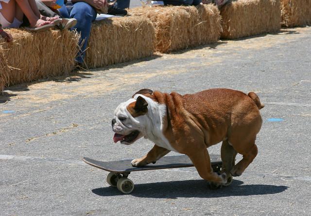 Tillman The Skateboarding Bulldog