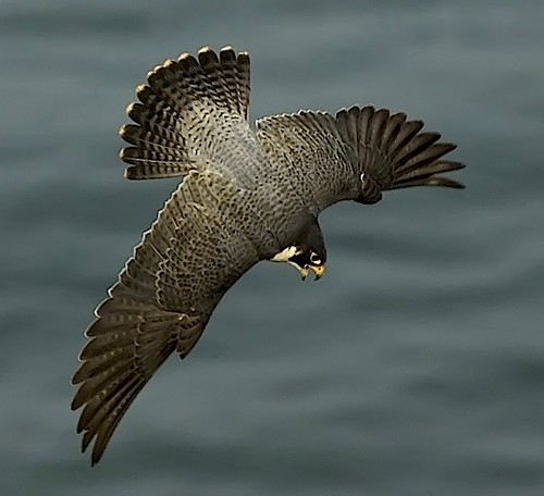 Flickriver: Most interesting photos tagged with peregrine