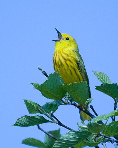 Yellow Warbler Singing - by Dave Cooney