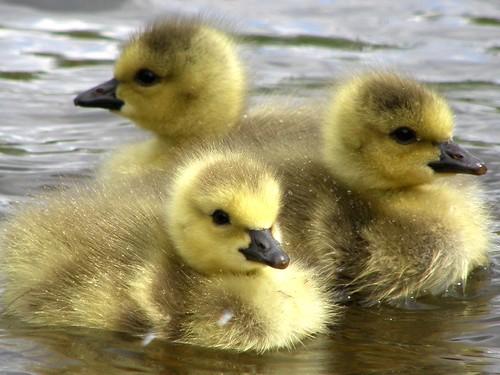 canada goose gosling canadagoose brantacanadensis canadensis branta avianexcellence