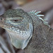 Bahamas Rock Iguana - Photo (c) Tim Sackton, some rights reserved (CC BY-SA)