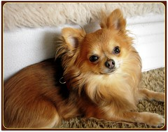 tibetan spaniel(0.0), chinese imperial dog(0.0), dog breed(1.0), animal(1.0), german spitz klein(1.0), dog(1.0), pet(1.0), german spitz(1.0), german spitz mittel(1.0), carnivoran(1.0), pomeranian(1.0),
