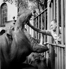 Artis. Oppasser Jan van Keulen maakt bek van nijlpaard schoon