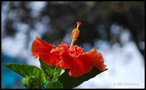 flower florida valentine explore hibiscus oldtown kissimmee topazadjust