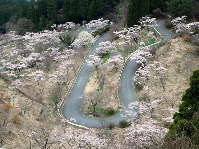 Sakura Road / 高森峠(たかもりとうげ)千本桜(せんぼんざくら)
