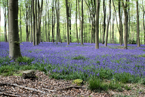Bluebell Woods - Micheldever
