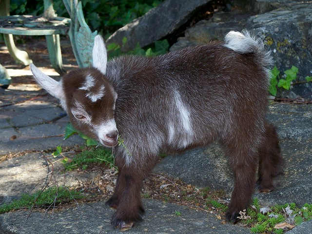 Pygmy goat kid