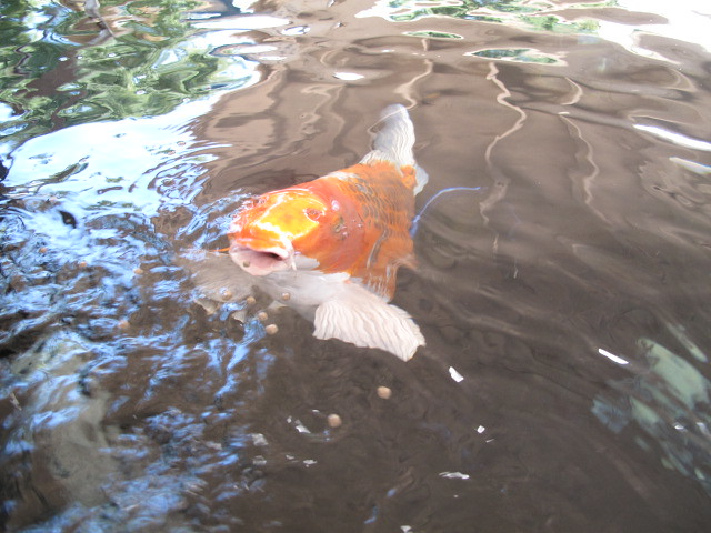 giant koi fish flickr photo sharing