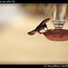 Hummingbird, Juncalito (3)