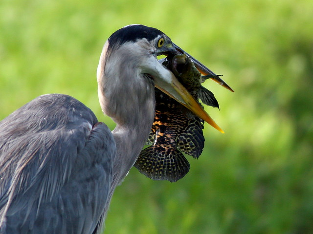 Great Blue Heron Ready to Swallow 20090528