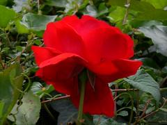 shrub(0.0), annual plant(1.0), garden roses(1.0), floribunda(1.0), flower(1.0), red(1.0), plant(1.0), flora(1.0), rosa chinensis(1.0), petal(1.0),
