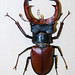 Stag Beetle - Photo (c) Charles Tilford, some rights reserved (CC BY-NC-SA)
