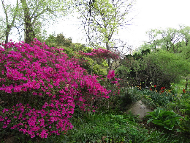 Azalea 'Kirishima' blooms in the Rock Garden of BBG. Photo by Rebecca Bullene.