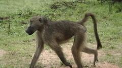 dog sports(0.0), irish wolfhound(0.0), animal(1.0), baboon(1.0), monkey(1.0), mammal(1.0), old world monkey(1.0),