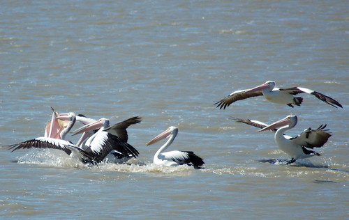 Grabs_Pelican melee_Fighting over a fish
