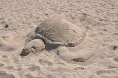 white(0.0), sea(0.0), loggerhead(0.0), leatherback turtle(0.0), sea turtle(0.0), animal(1.0), turtle(1.0), sand(1.0), reptile(1.0), fauna(1.0),