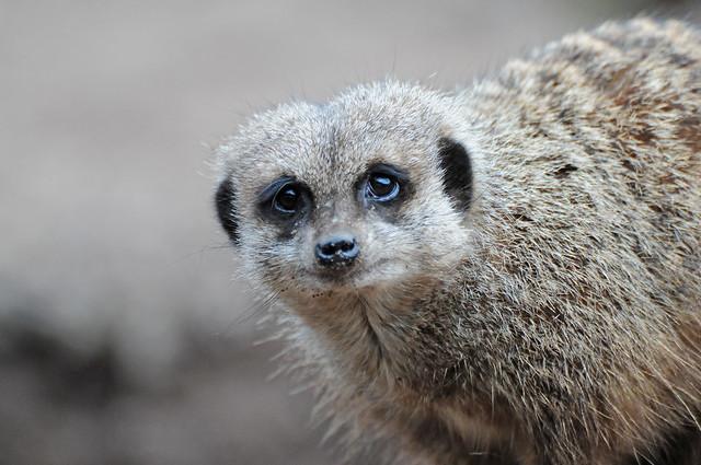 Meerkat (Suricata suricatta) Close-Up