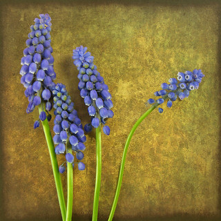 H is for Hyacinth