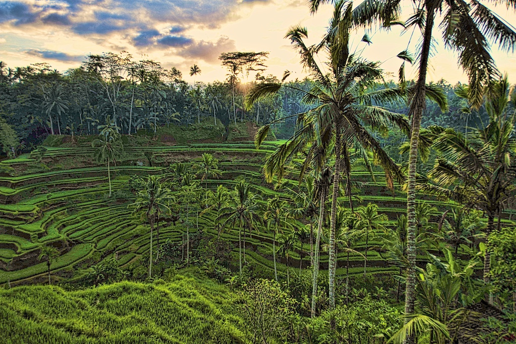 Morning sun on rice paddies
