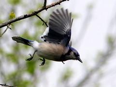 Flight shots of small birds